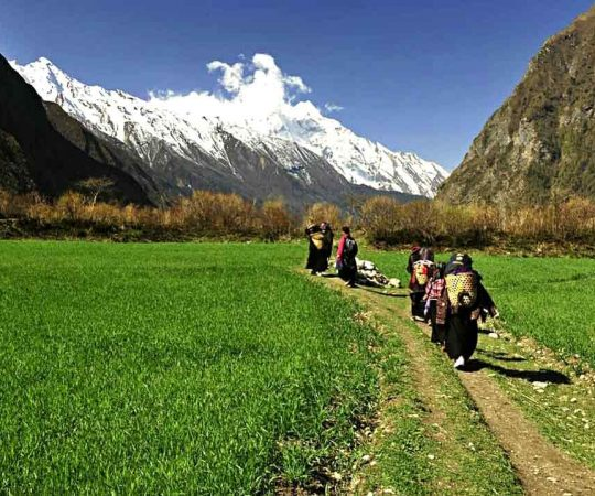 Local women of Tsum valley walking on wheat field