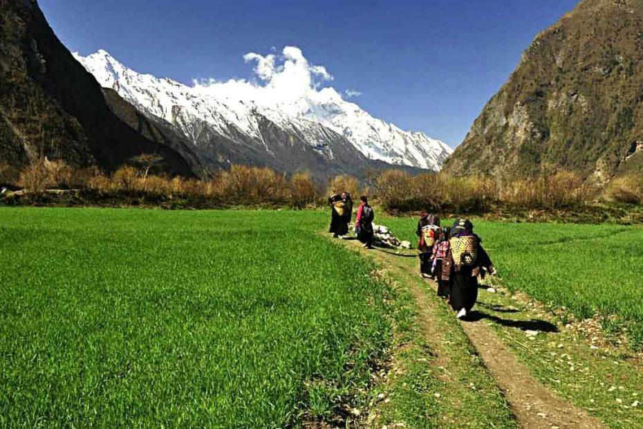 Local women of Tsum valley walking on wheat field